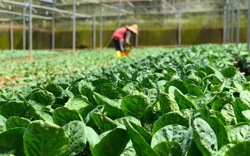 Farming Lettuce