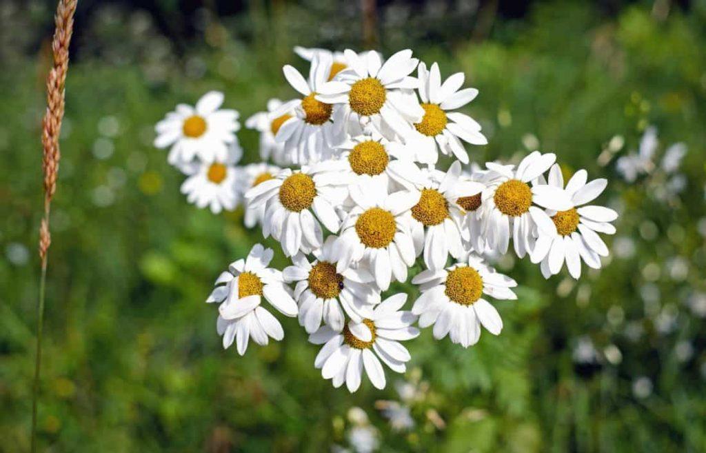 chamomile flower roman chamomile german chamomile