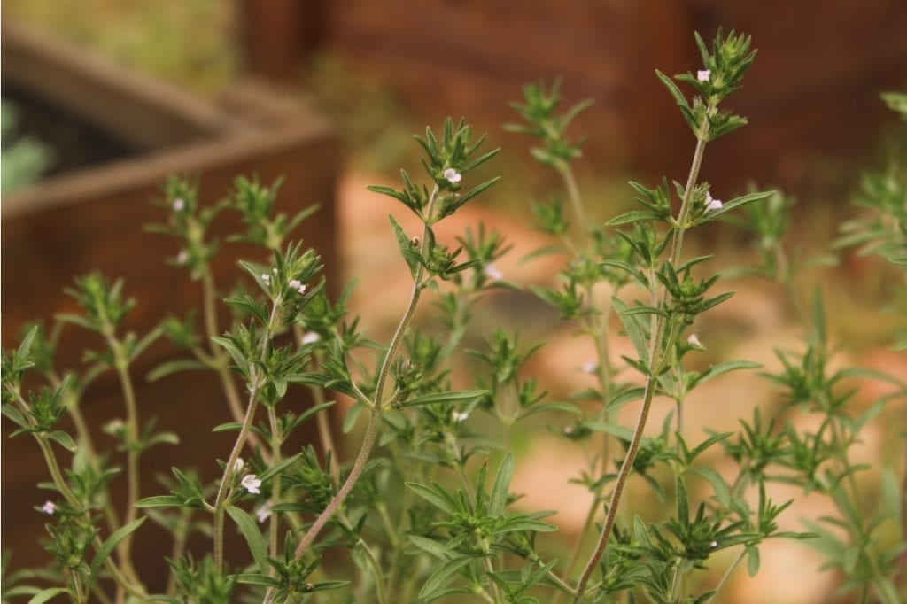 summer savory plant herb
