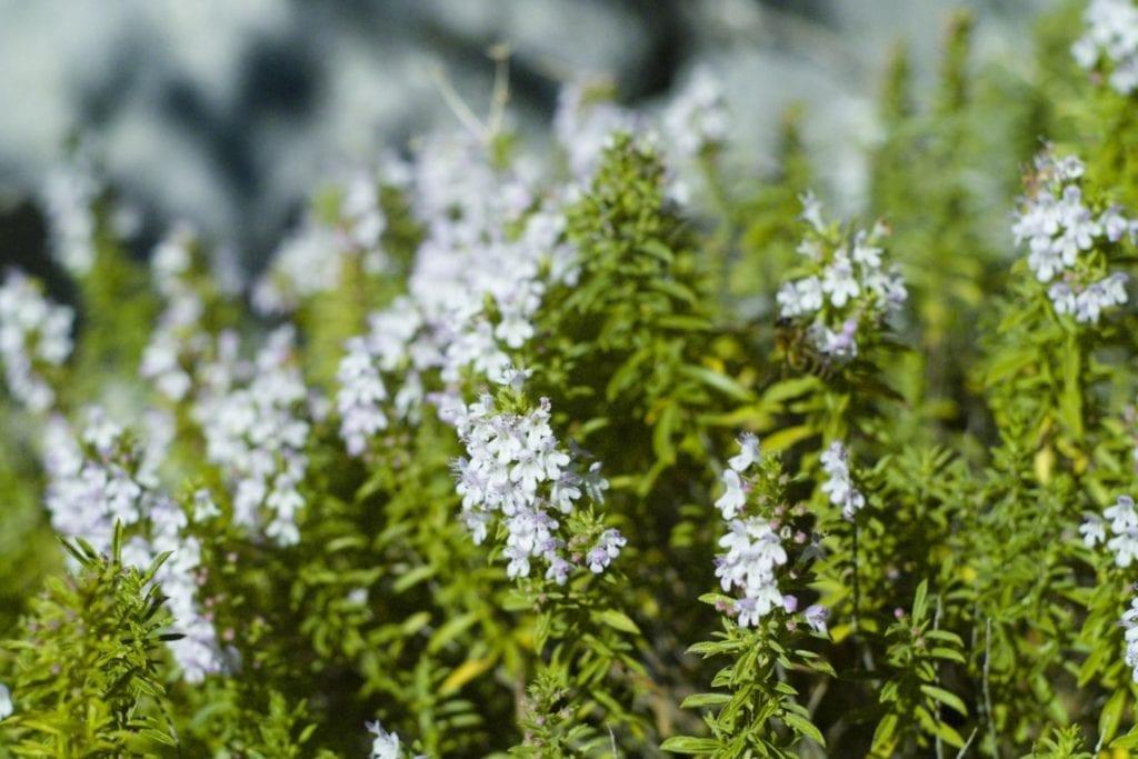 winter savory plant herb mountain savory