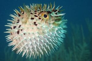 aphrodisiac foods: pufferfish