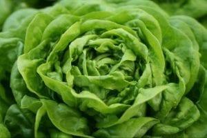 butter lettuce close up shot