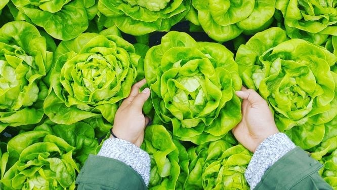 What Everyone Needs To Know About Butter Lettuce