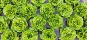 butter lettuce, butterhead lettuce on a row