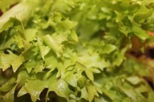 frisee leaves