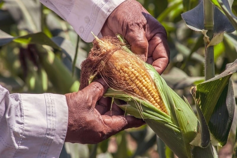How to Pick Corn on the Cob